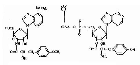 嘌呤霉素(左)与tyr-tRNAtyr(右)