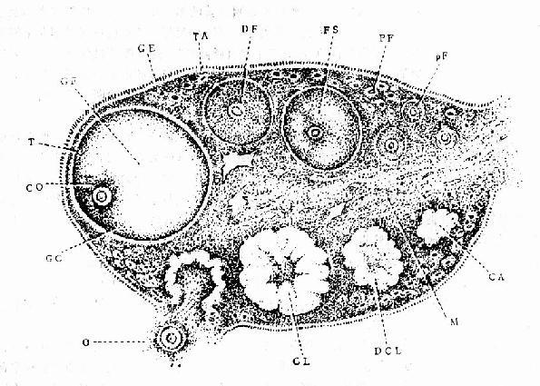 卵巢结构及周期性变化切面示意图