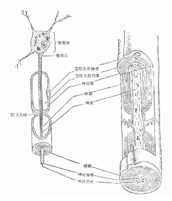 神经纤维的解剖图——神经细胞与轴突