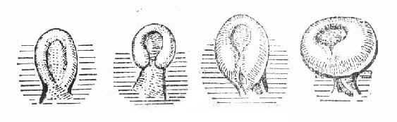 胚裂的形成与闭合
