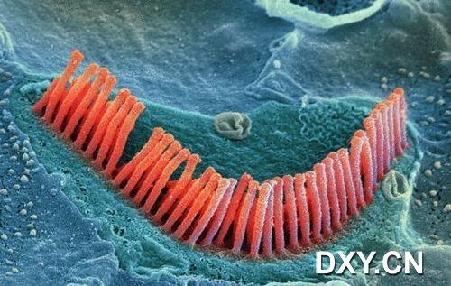耳朵内部的毛细胞