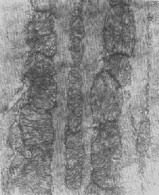 心肌細胞粒線體