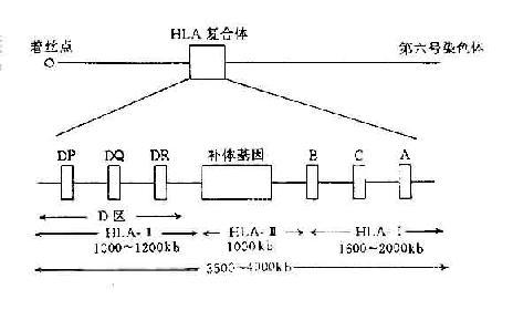 人类HLA复合体结构示意图