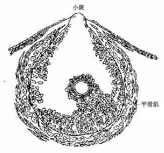 成熟卵泡排卵模式图