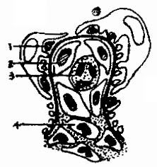 肾小球微小病变模式图