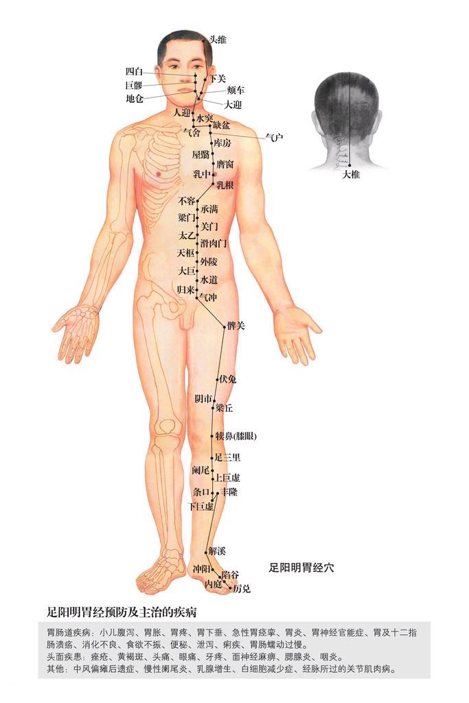足阳明胃经穴位图
