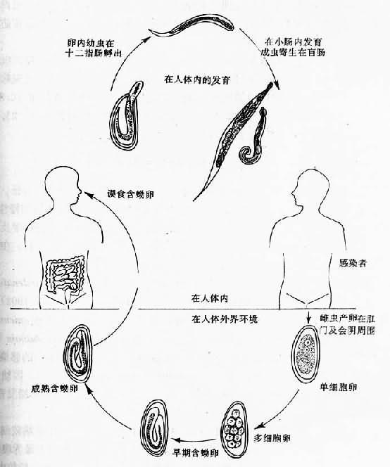 蛲虫生活史
