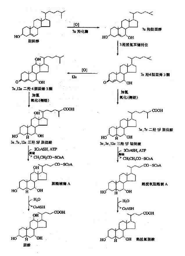 游离型初级胆汁酸的生成
