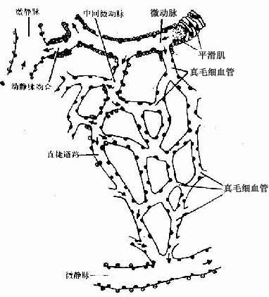 微循环血管模式图