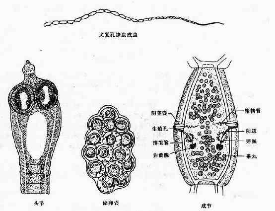 犬复孔绦虫