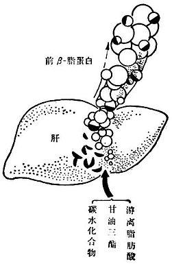 肝脏中的内源甘油三酯的生成