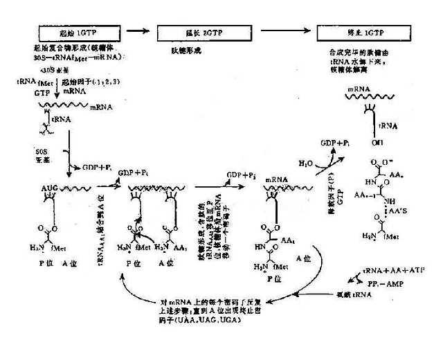 翻译过程(蛋白质合成)图解