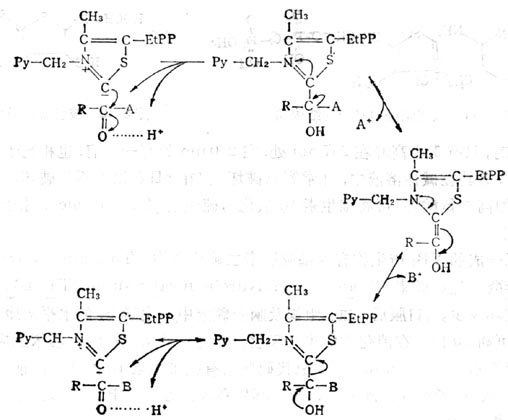 维生素B1焦磷酸羧化酶的作用机制