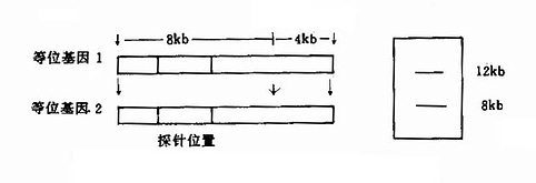 RFLP示意图箭头酶切位点