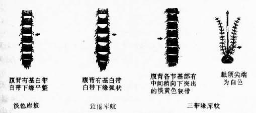 三种库蚊的主要特征鉴别