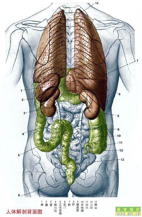 人体解剖背面图