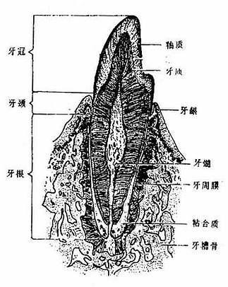 牙的构造模式图