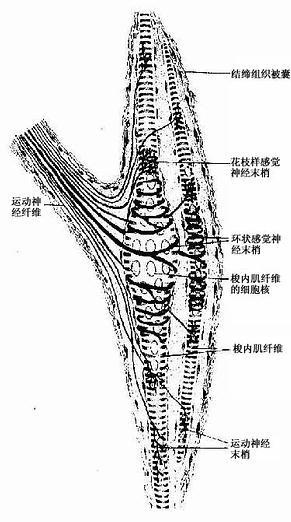 肌梭结构模式图