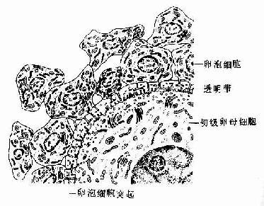 初级卵泡超微结构模式图