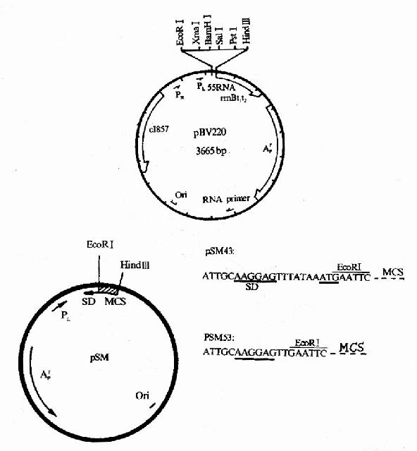 几种常用的大肠杆菌表达载体