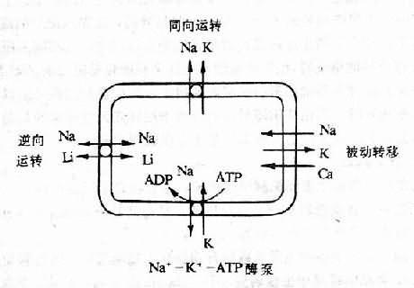 细胞内钠运转的四个系统
