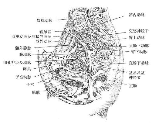 女性膀胱位置图片_人体解剖学/盆腔泌尿系统器官 - A+医学百科