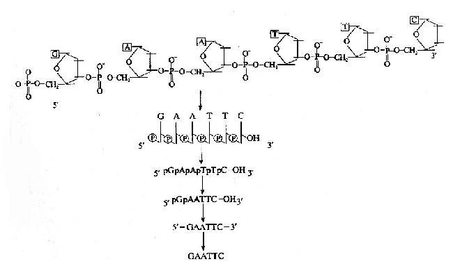 核酸分子结构的表示方式