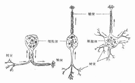 不同形状的神经元
