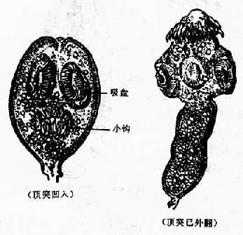 细粒棘球绦虫原头蚴