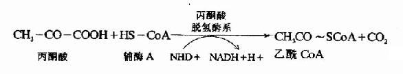 丙酮酸的氧化脱羧