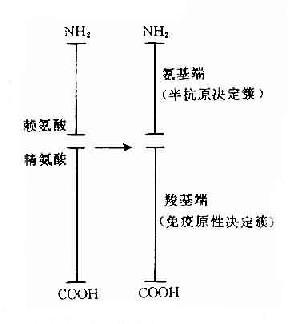 高血糖素决定簇结构示意图
