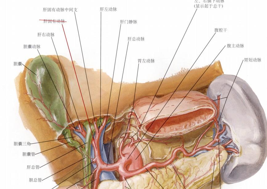 肝动脉.jpg