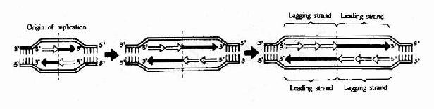 DNA的半不连续复制和复制泡的形成