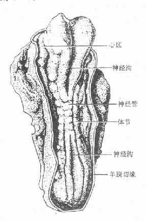 神经沟和神经管