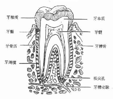 牙齿由牙釉质、牙本质、牙骨质和牙髓四部分组成