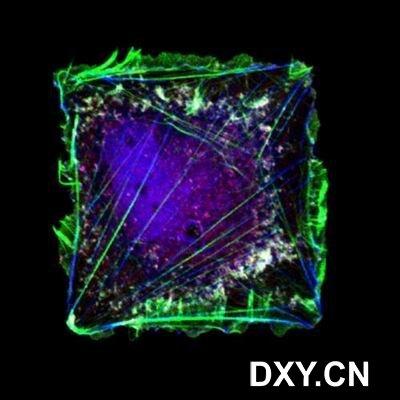人体皮肤伤口愈合的纤维连接蛋白