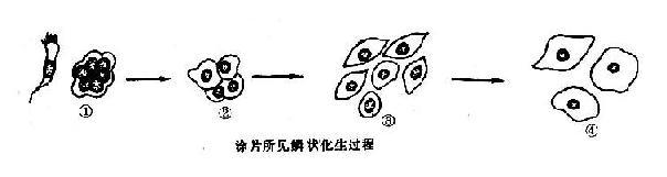 假復層纖毛柱狀上皮鱗狀化生過程示意圖