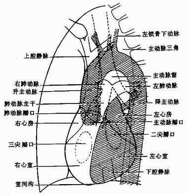 左前位正常心、大血管影像解剖示意图
