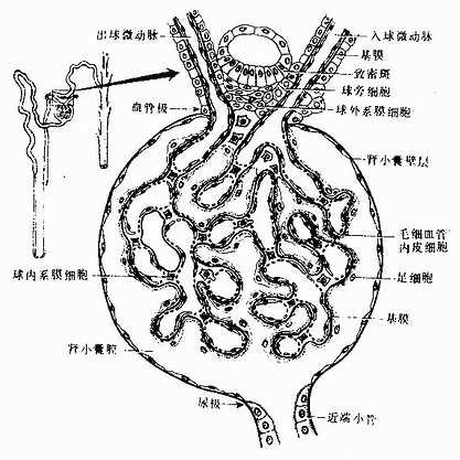 肾小体和球旁复合体模式图