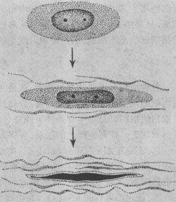 纖維母細胞產生膠原纖維並轉化為纖維細胞模式圖