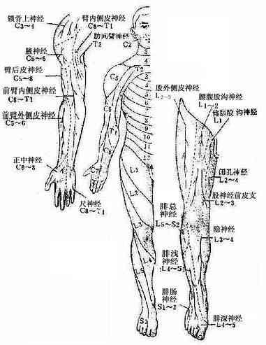 周围型(神经干型)及节段型感觉分布(腹面)
