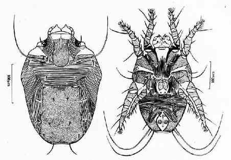 屋尘螨雄虫背腹面