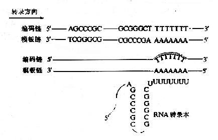 原核生物转录作用的终止信号