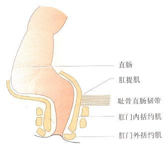 肛门直肠的解剖。