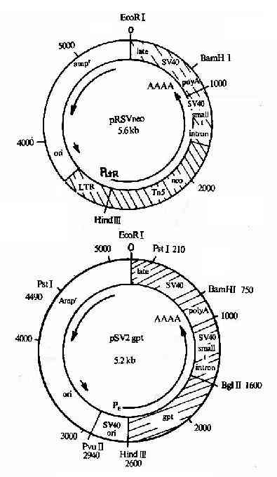 真核表达载体pSV2-neo