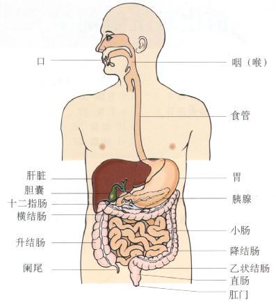 消化系统。