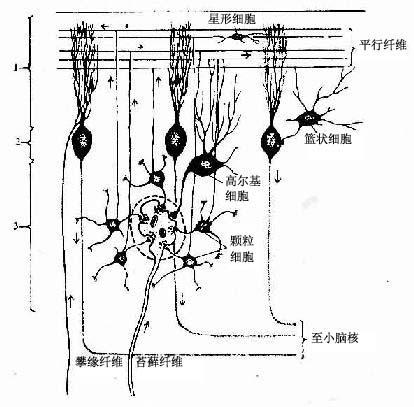 小脑皮质神经元与传入纤维的关系