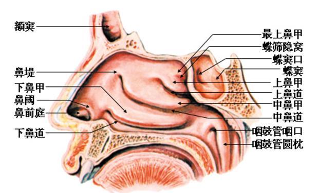 鼻部结构图