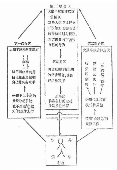 鲁亚利的三个基本机能联合区