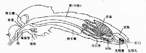 成蚊内部解剖(雌)